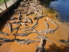 Des crocos, gros et nombreux