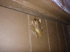 Petit grenouille bien mignone