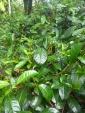 Plants de thé vert