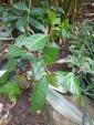 Plants de thé blanc