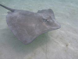 Moorea raies et requins