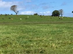 La Normandie et ses vaches ou Tahiti ?
