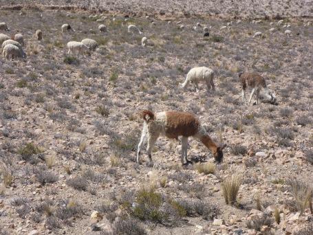 Troupeau de lamas et alpagas