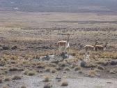 Des troupeaux de vigognes