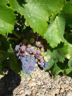 Collioure son vin ses cépages